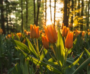Sunset over the tulip field at the park Volcji Potok
