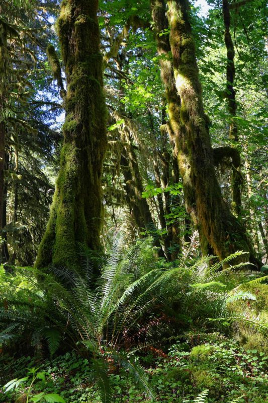 quinault-forest-2